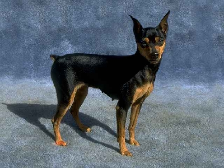 Mini Doberman Pinscher